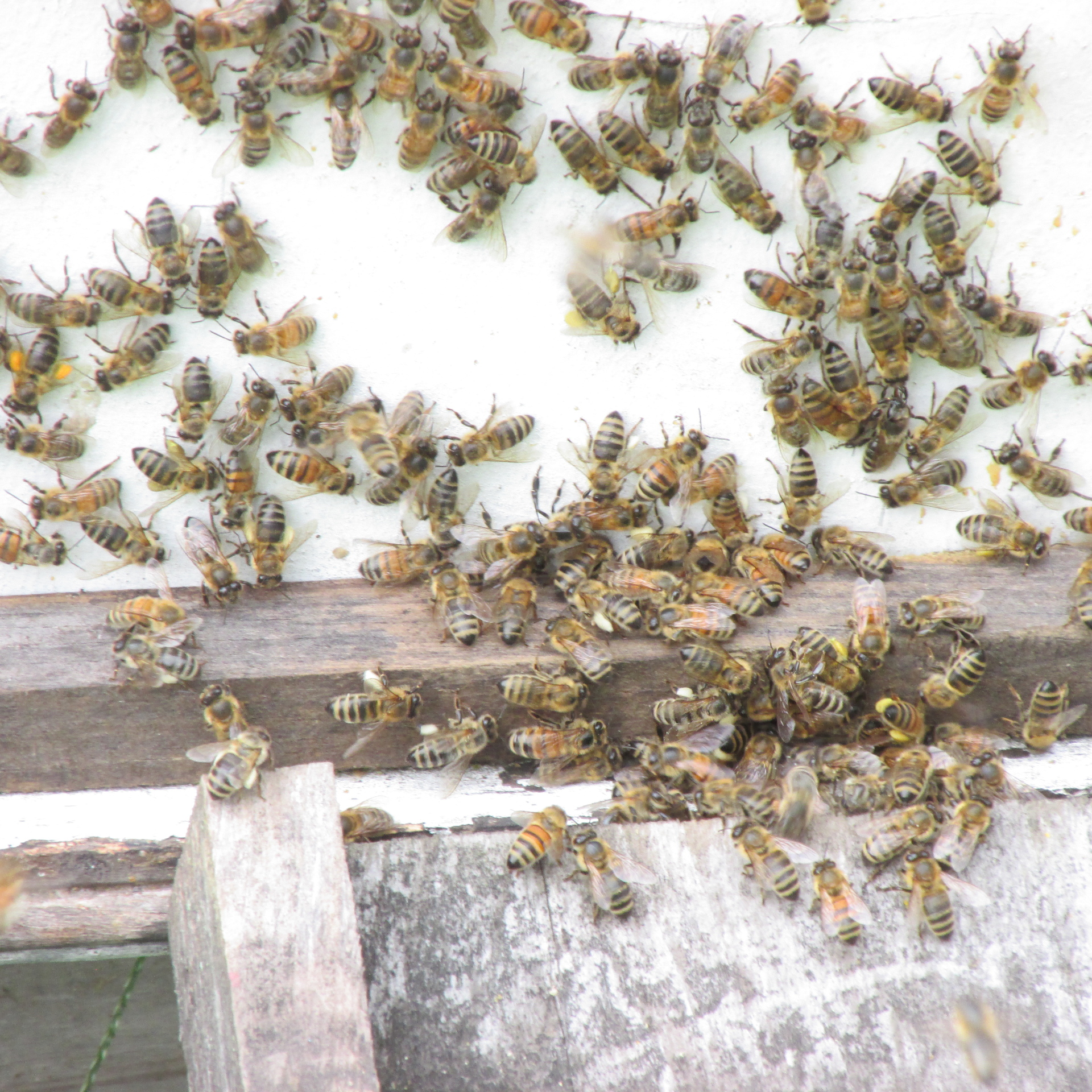 Bees with Entrance Reducer